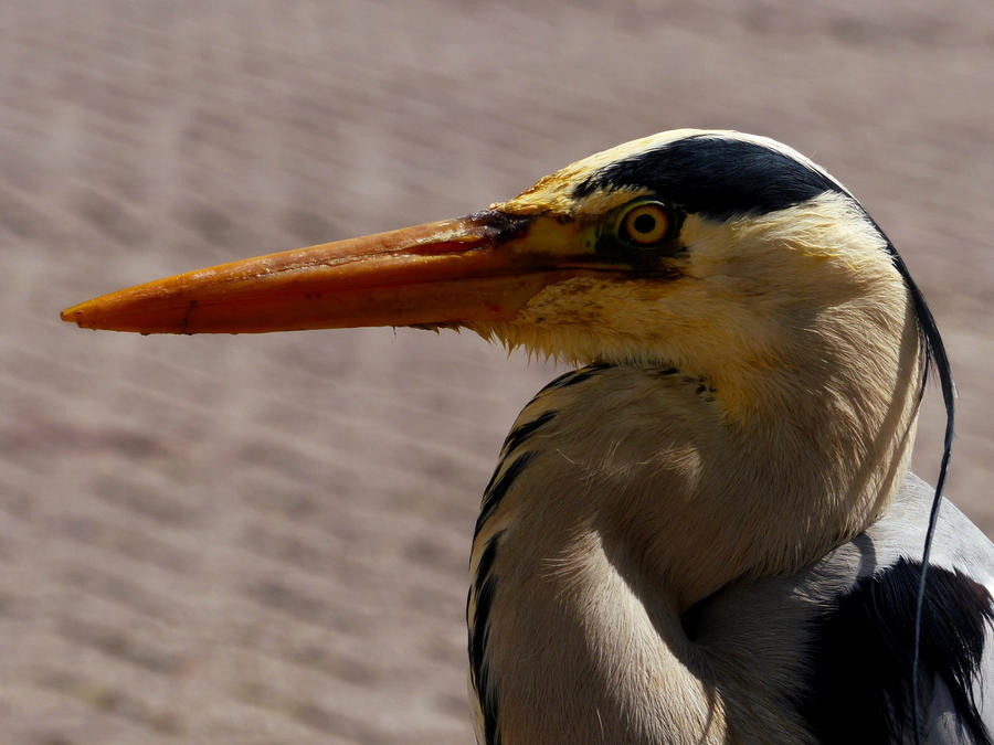 Grey Heron - Fish for picture! by Alistanniel