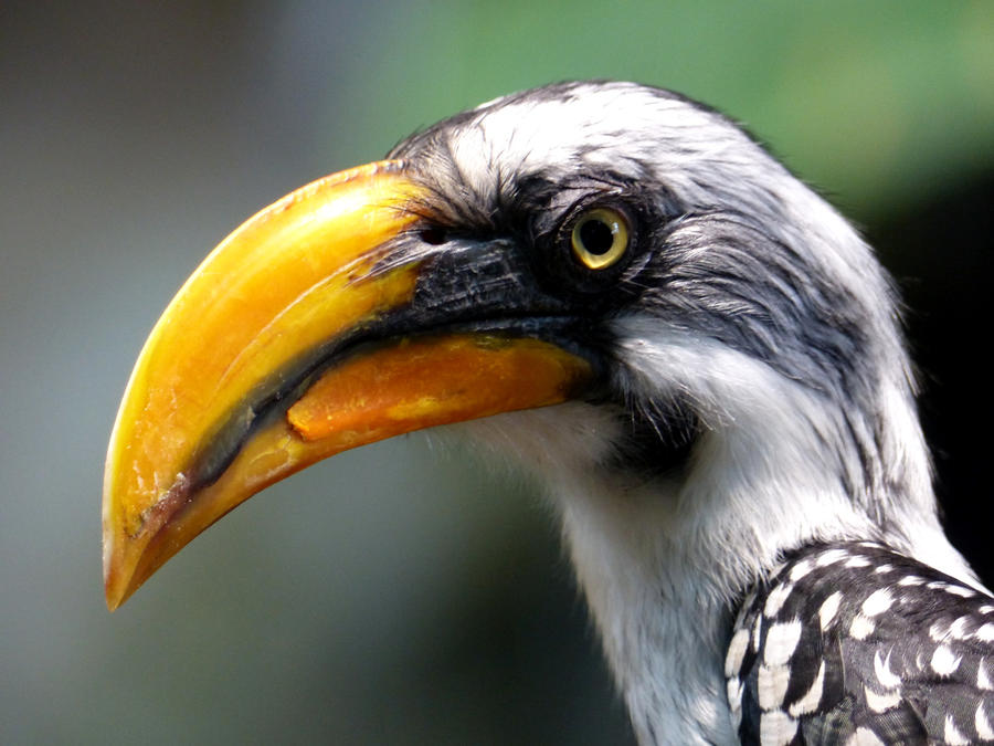 Yellowbilled hornbill by Alistanniel
