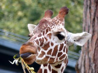 Reticulated giraffe by Alistanniel