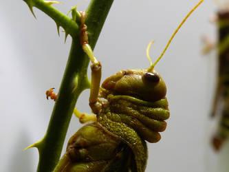 Tropidacris grasshopper by Alistanniel