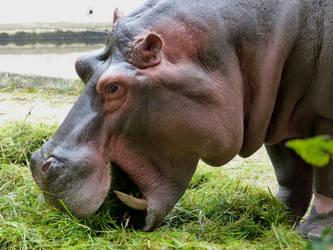 Hippopotamus by Alistanniel