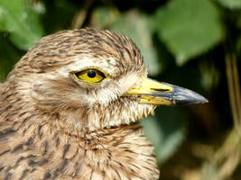 Eurasian stone-curlew by Alistanniel