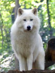 Arctic wolf by Alistanniel