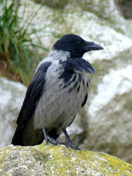 Hooded crow by Alistanniel
