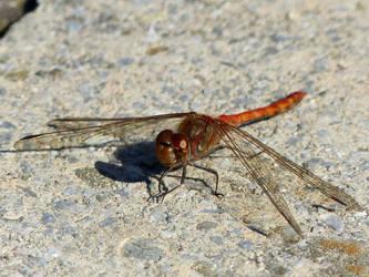 Skimmer dragonfly by Alistanniel