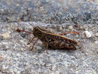 Italian locust by Alistanniel