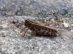 Italian locust
