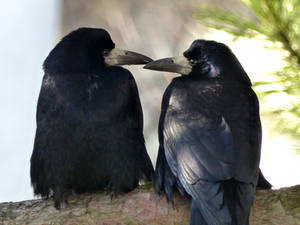 Rooks in love