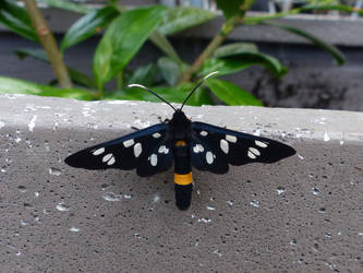Nine-spotted moth by Alistanniel