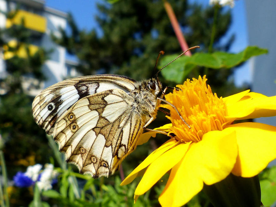 Marbled white by Alistanniel