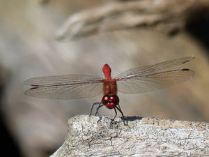 Beautiful Skimmer dragonfly