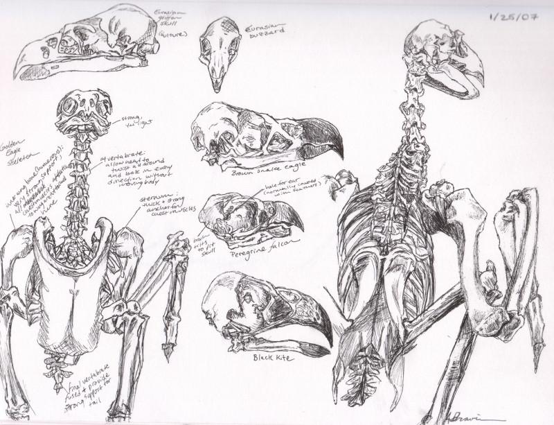 Bird of prey anatomy
