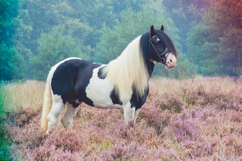 Gypsy horse by DaisyreeB