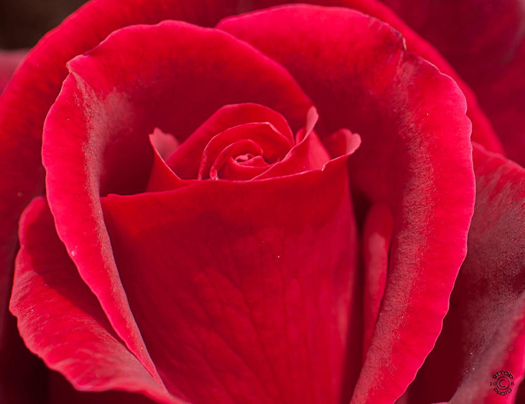 Redrose by Belgerathone