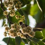 Common Tailorbird by agarwalsonika