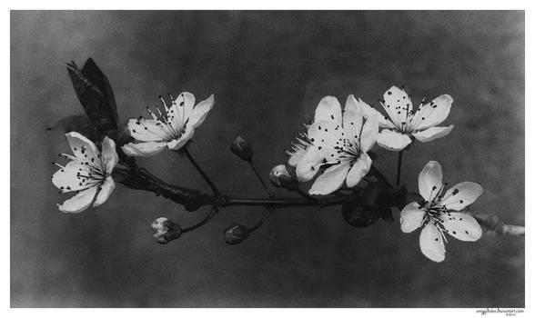 .: prunus cerasifera :. by amygdalon