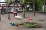 Peacock in Ciechocinek