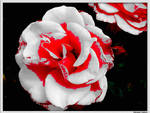 Blood on the Rose
