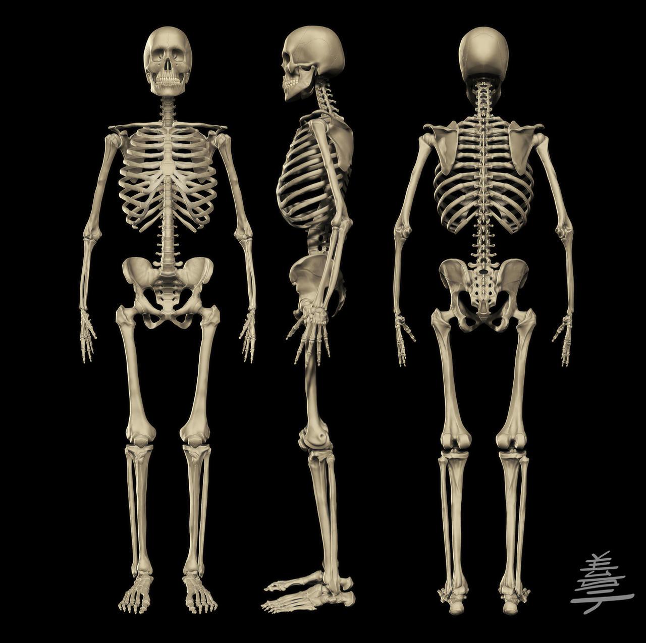 Anatomy - MALE Skeleton by Veus-T on DeviantArt