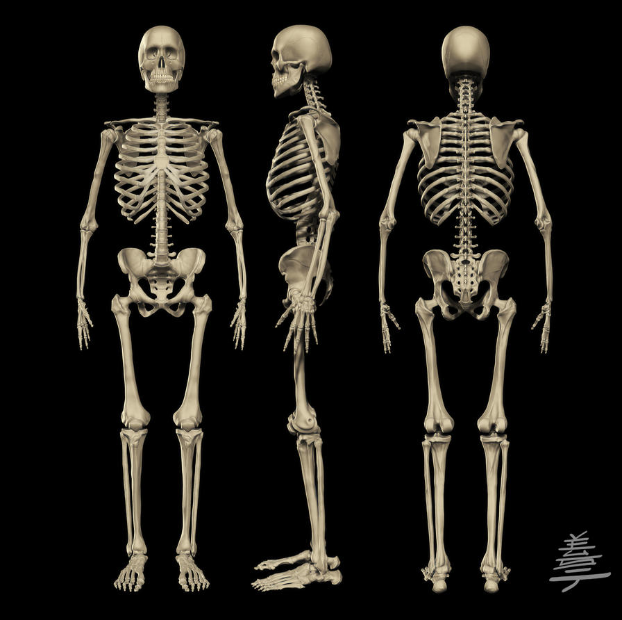 Anatomy Male Skeleton By Veus T On Deviantart