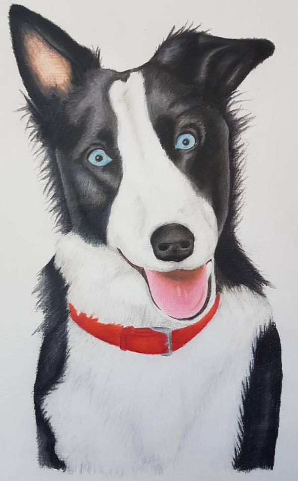 Harley the Border Collie  by jazzyjesss27
