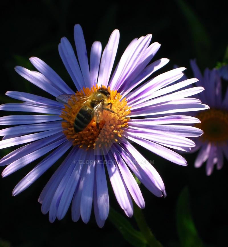 Purple Aster pollen gathering by Elorine