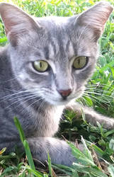 Gracie Gray Feral fixed and returned - lives here  by jannied
