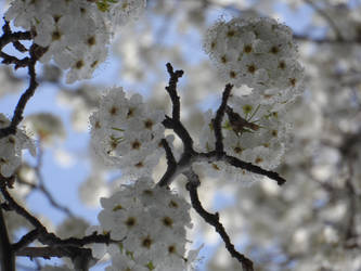 Boughs of White Blooms by melaphyre