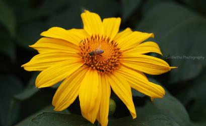 Sunflower 1 by soldiette