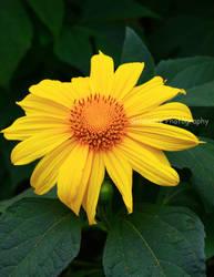 Sunflower 2 by soldiette