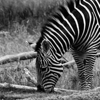 Stripes by ShyCrow