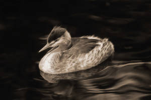 Great Crested Grebe by JanneO