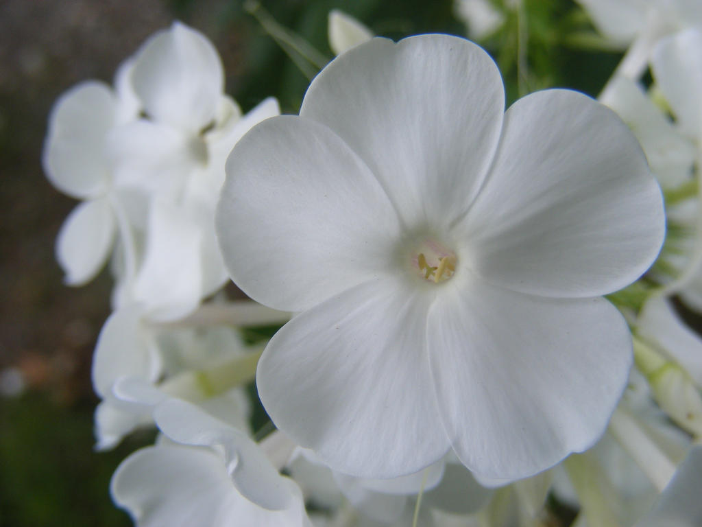 Beautiful Tiny White Flowers By Blueivyviolet On Deviantart
