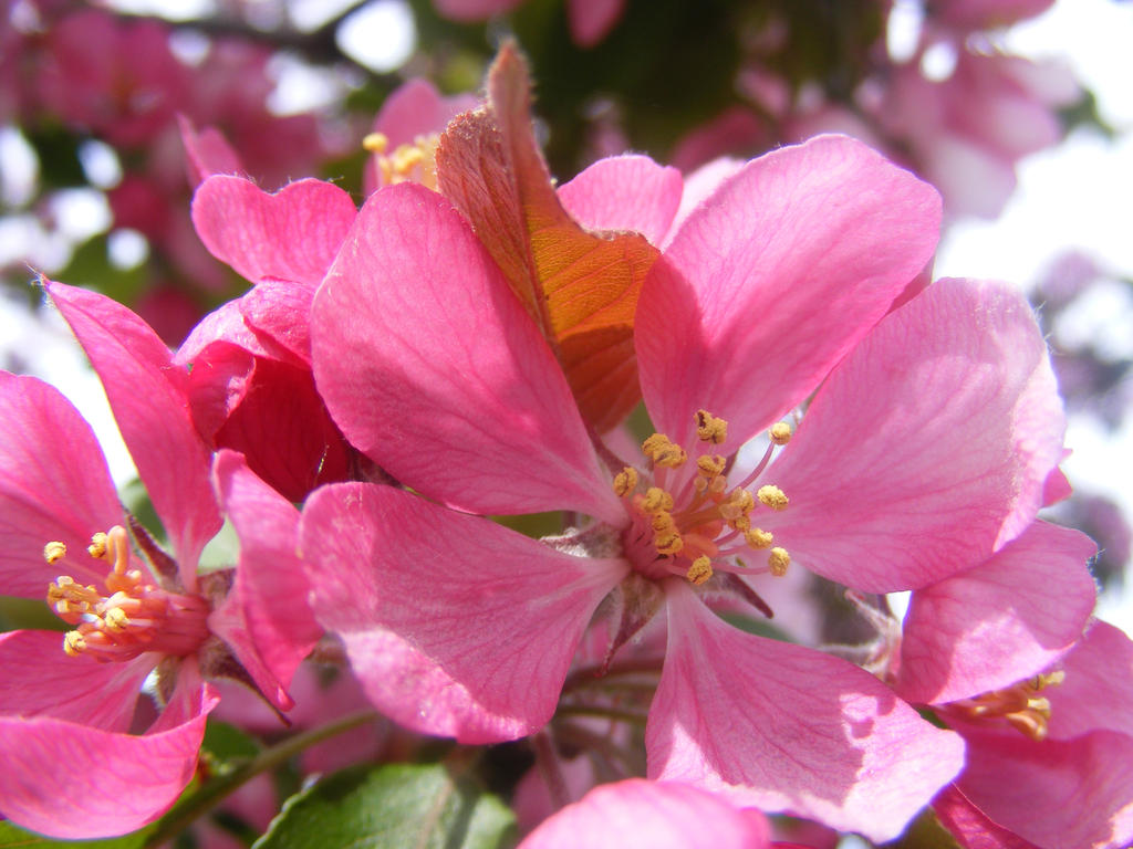 apple blossom from last year by BlueIvyViolet