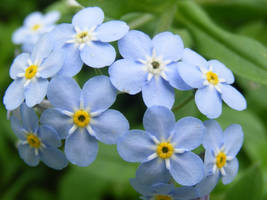 blue forget me nots by BlueIvyViolet