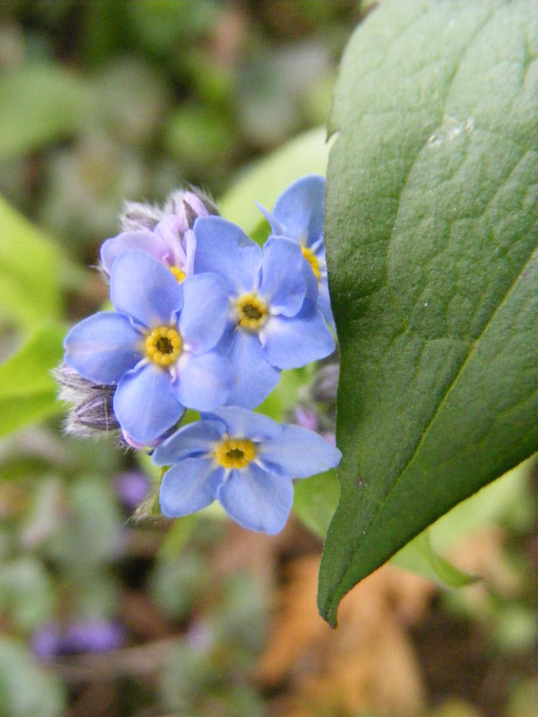 blue forget me nots 2017 by BlueIvyViolet
