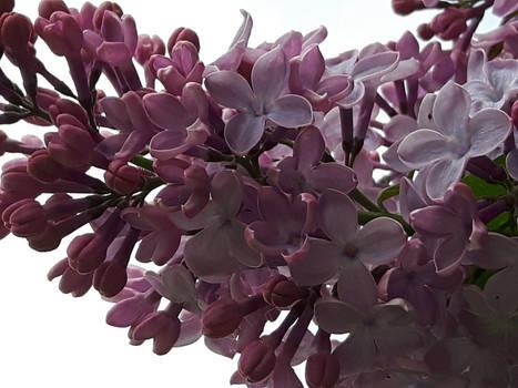 My beautiful lilacs of 2019