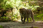 Panthera onca II