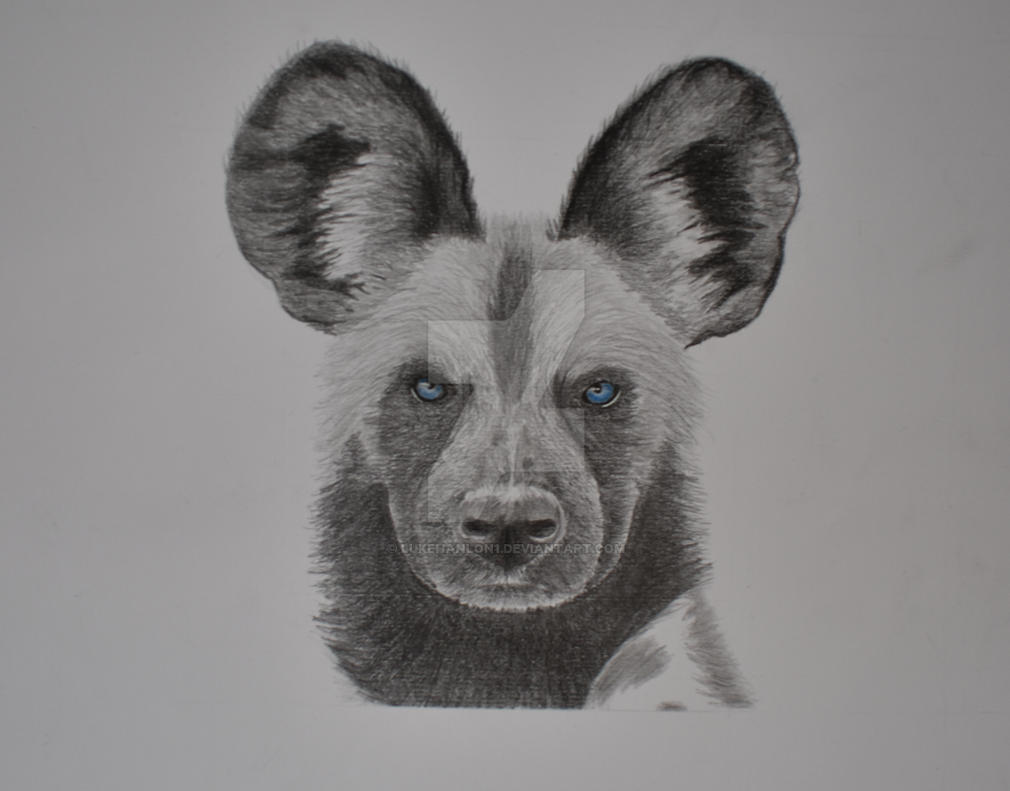African wild dog graphite pencil drawing by lukehanlon1
