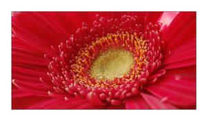 Floral Macro - Gerbera by Fantazio