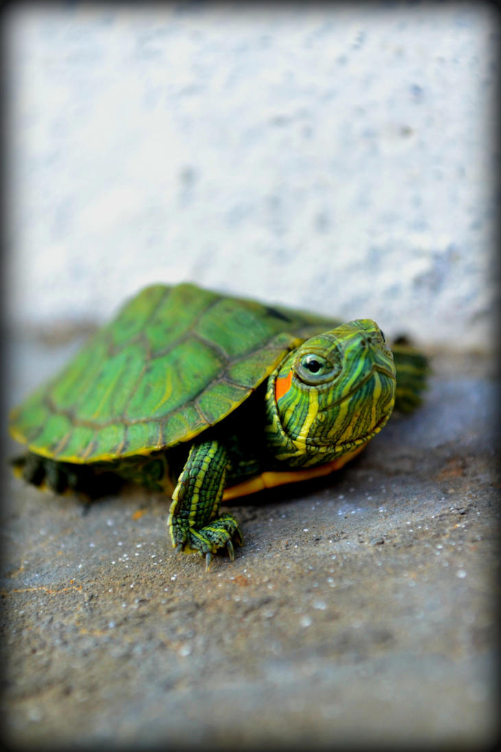 30 little turtles A cv is used by an individual looking to define themselves in scholarly terms and showcases their education and areas of 30 little turtles essay expertise ten essential questions to guide.