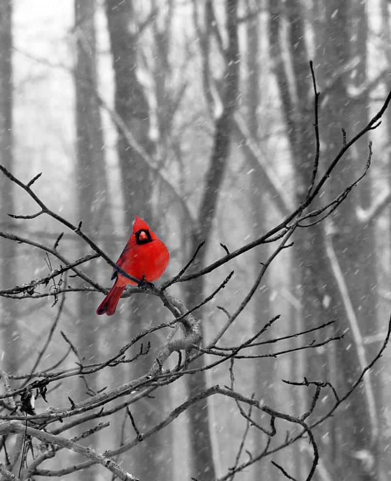 Cardinal in the Snow by littleredelf on DeviantArt