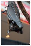 Malayan Flying Fox 2