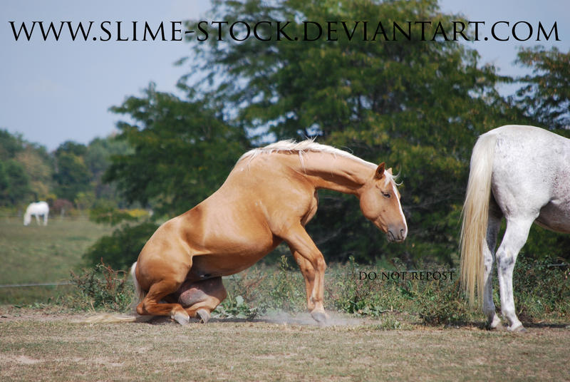 july 2015: palomino qh getting up from roll by slime-stock