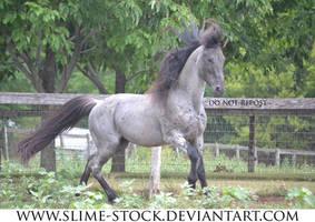 Jan 2016: Blue Roan TWH stallion gait at camera