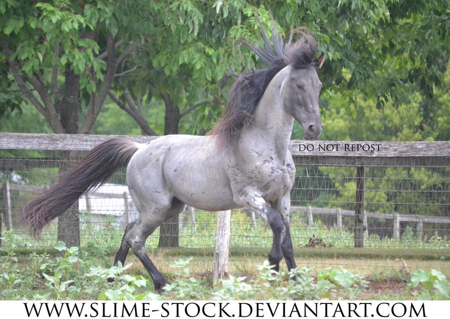 Jan 2016: Blue Roan TWH stallion gait at camera by slime-stock