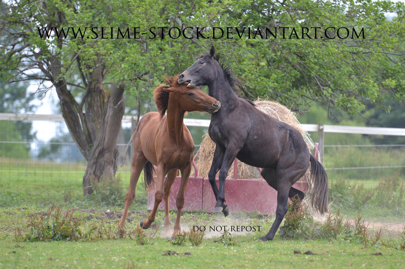 Sept 2015: thoroughbred yearlings rearing playing by slime-stock