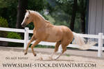 palomino quarter horse turn canter