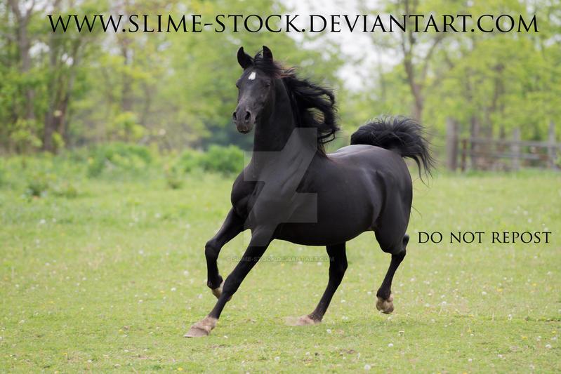 black arabian trot towards camera 4 white socks by slime-stock