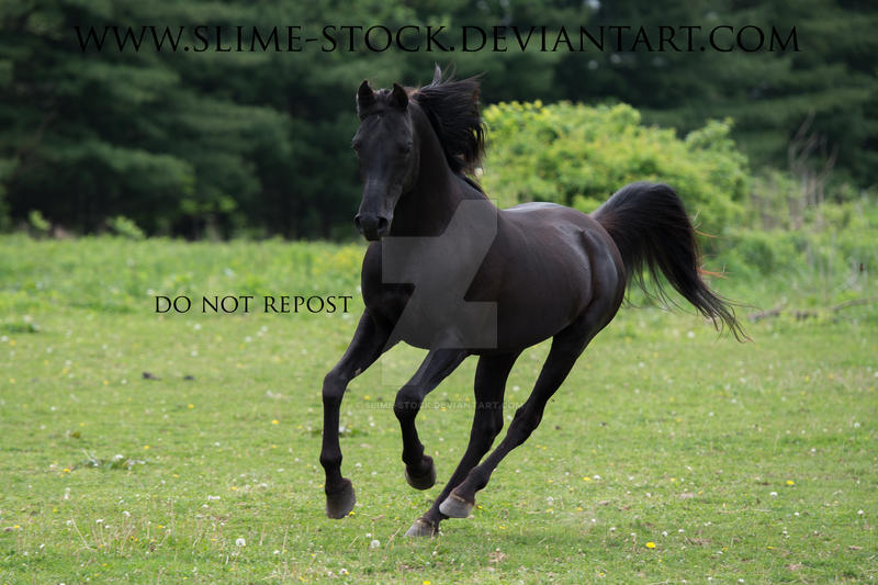 solid  black arabian stallion galloping by slime-stock